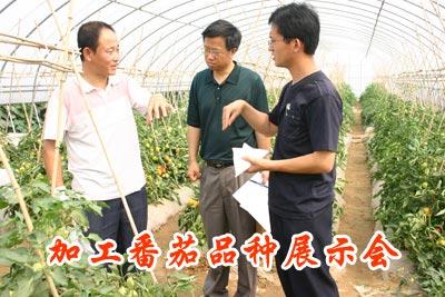 加工番茄品种展示会