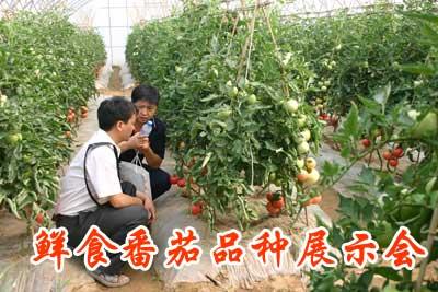 鲜食番茄品种展示会
