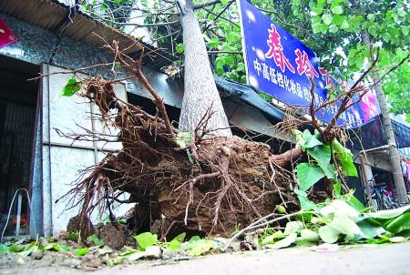 直径约40厘米的毛杨树被连根拔起